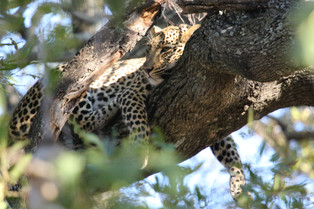 Leopard asleep after a feed, outside Mfuwe Lodge, Luangwa National Park