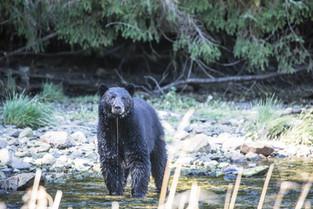 Dribbling Bear, Bella Bella, British Columbia, Canada.jpg