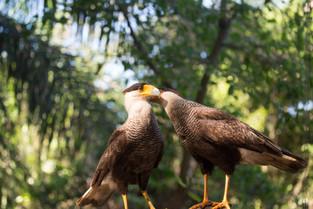 Southern Caracara, Pantanal, Brazil