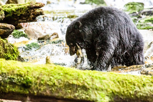 Black Bear caught a Fish, Bella Bella, British Columbia, Canada