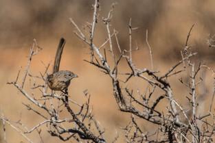 Scrub Wren, South Australia