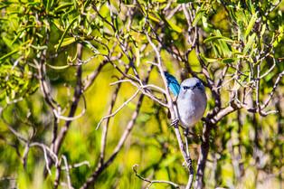 Bluebreasted Fairy Wren, South Australia
