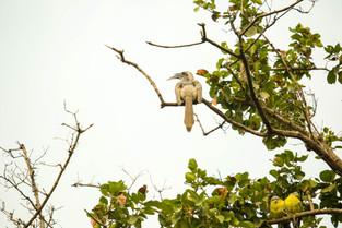 Hornbill, Bharatpur, India