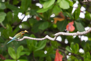 Bee eater with butterfly, Sri Lanka
