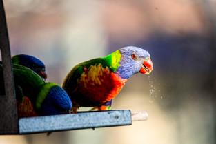 Rainbow Lorriket - a Messy Eater, Sydney, New South Wales
