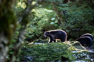 Mother Bear followed by 2 baby bears, Bella Bella, British Columbia, Canada