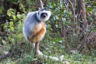Diademed Sifaka - a most beautiful lemur, Andasibe, Madagascar