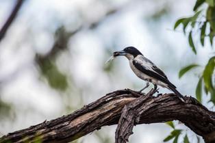 Butcher bird with a cicada in his beak, Northern Territory