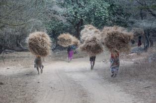 Bringing the grass home, Ranthambore National Park, India