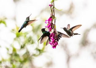 Hummingbirds drinking nectar from flowers