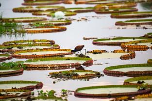 Jacana on Giant Waterlilies, Pantanal, Brazil