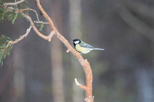 Great Tit, Norway