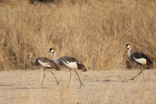 Grey Crowned Cranes, Luangwa National Park