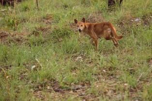 Dingo, Northern Territory