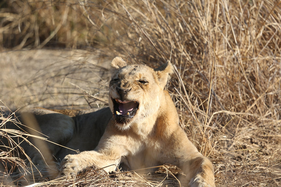 Old Lioness with no canine teeth, Luangwa National Park