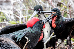 Greater Frigate birds, three is a crowd; Galapagos