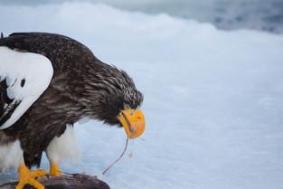 Steller Eagle, Rausu, Hokkaido, Japan