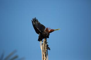 Crested oropendola, Pantanal, Brazil.jpg