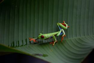 Red Eye Frog, Costa Rica