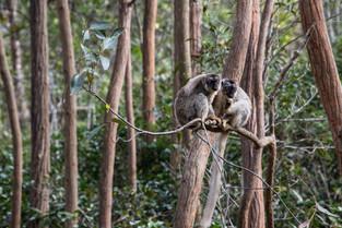 Brown lemurs having a chat, Andasibe, Madagascar