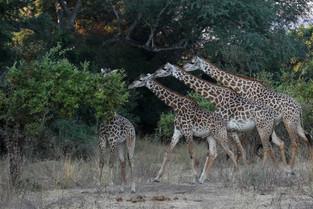 A Trio of Giraffe, Luangwa National Park