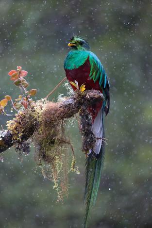 Resplendent Quetzel, cloud forest, Costa Rica