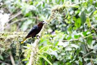 Ororpendola, Costa Rica