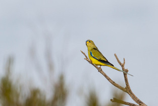 Elegant Parrot, Port Augusta, South Australia