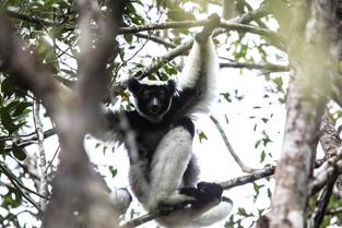 Indri, Andasibe, Madagascar
