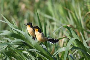 Blackcapped Donacobius, Pantanal, Brazil