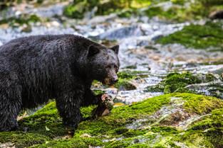 Black Bear has eaten brain of the Fish as it is full of fat, Bella Bella, British Columbia
