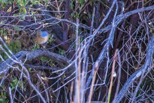 Malle Emu Wren, South Australia