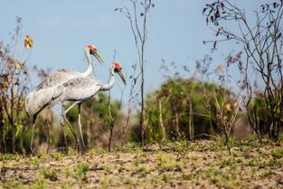Brolga, Northern Territory