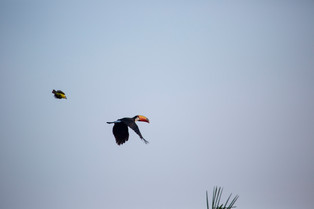 Toucan being chased by a cattle tyrant, Pantanal, Brazil