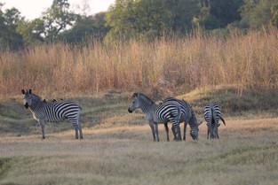 Zebras, Luangwa National Park, Zambia.JPG