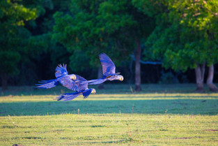 Hyacinth Macaw flying towards sunset, Pantanal, Brazil