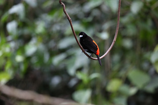 Scarlet Rump Tanager, Costa Rica