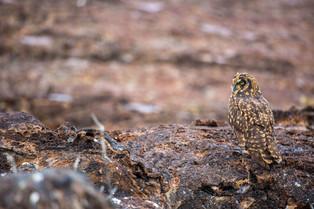 Galapagos Owl, Galapagos