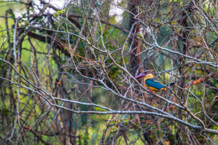 Stork bill Kingfisher, Sri Lanka