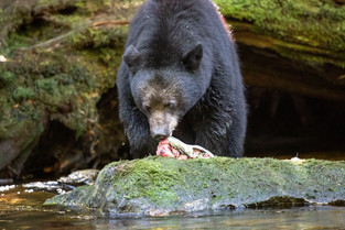 Black Bear eating a Salmon, Bella Bella, British Columbia, Canada