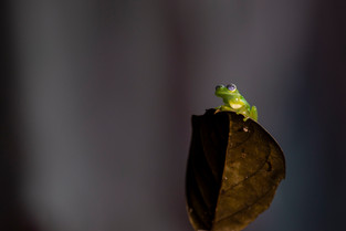 Glass Frog - size of a thumb nail, Costa Rica