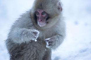 Young Snow Monkey in the snow, Jigokudani, Honshu