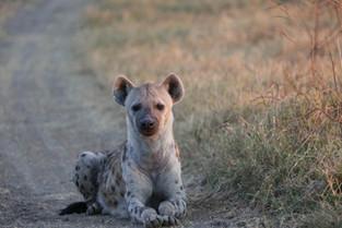Hyena, Luangwa National Park
