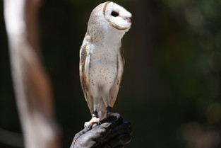 Eastern Barn Owl, Northern Territory