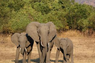 Family of Elephant, Luangwa National Park, Zambia