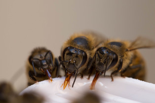 Bees on a pub crawl