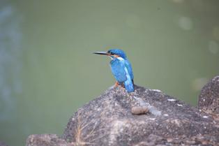Common Kingfisher, Sri Lanka