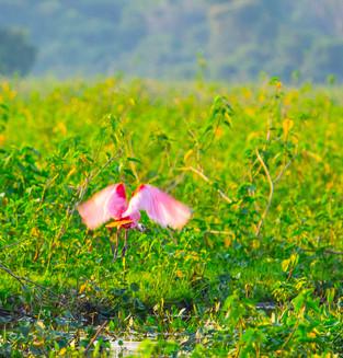 Roseate Spoonbill, Pantanal. Brazil