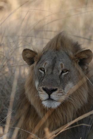 Lion, Luangwa National Park