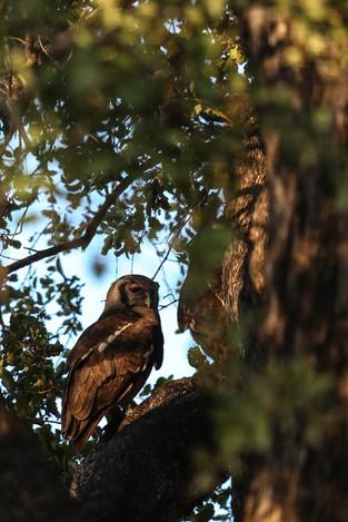 Pink Eyelid Owl, Luangwa National Park